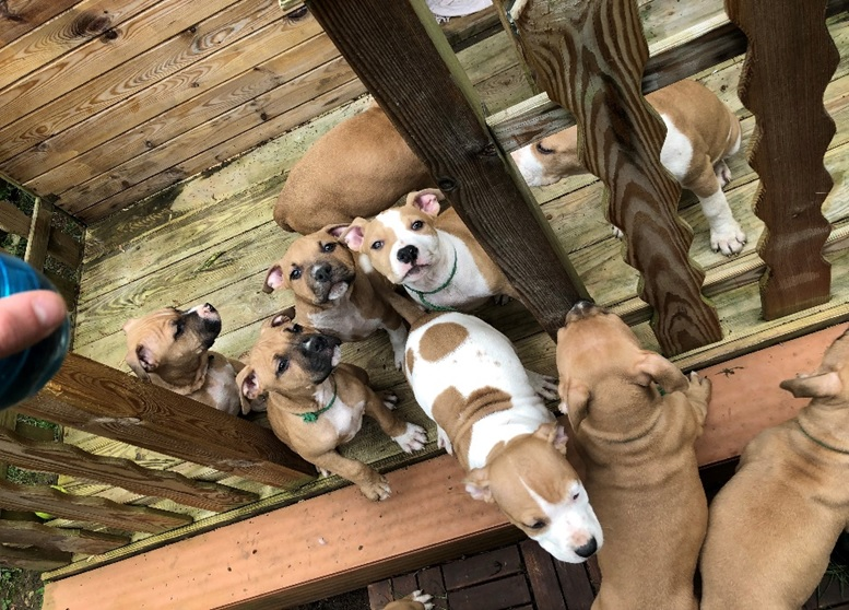 chiot staffordshire terrier