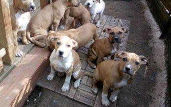 Plus que 8 chiots Staffordshire Terrier
