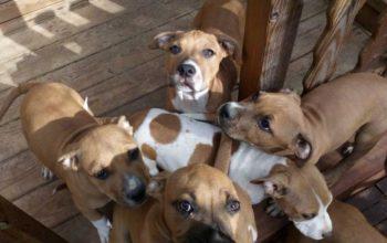 Plus que 6 chiots Staffordshire Terrier