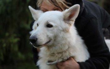Dream chienne berger blanc suisse LOF