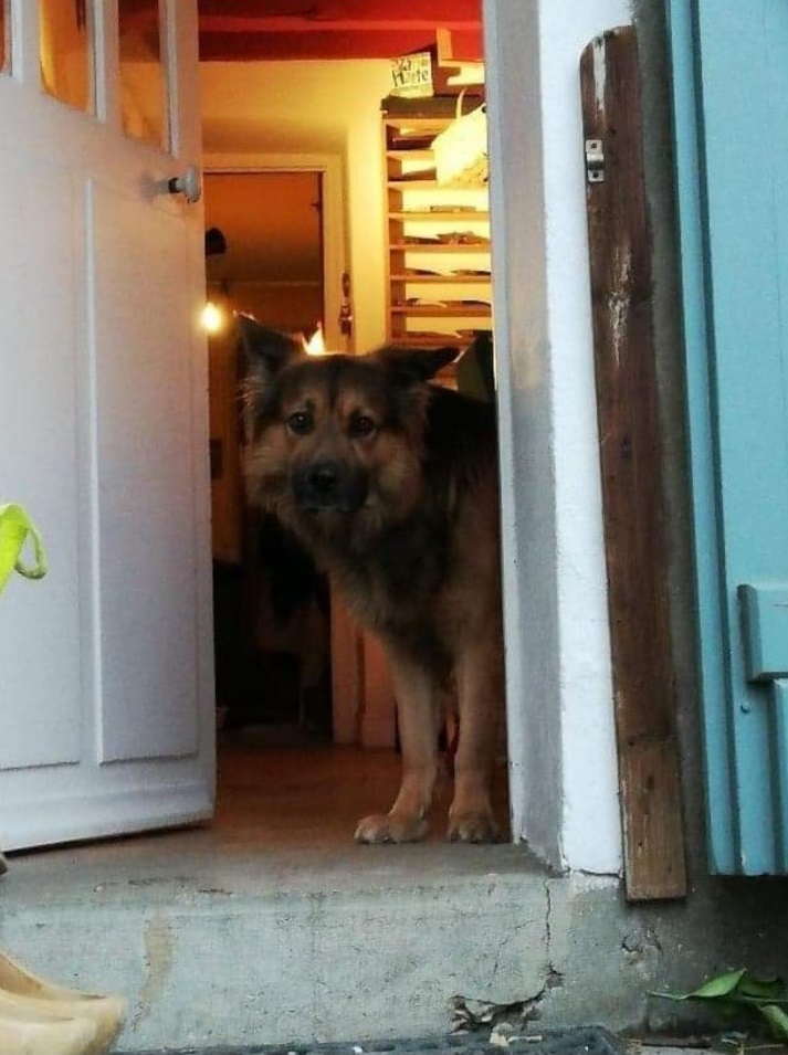 berger allemand male