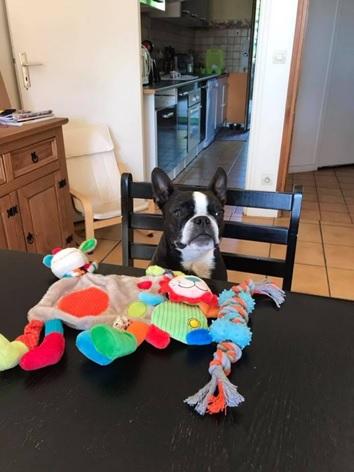 boston terrier adoption