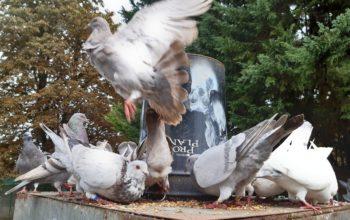 Couple de pigeons voyageurs à placer