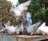 pigeons voyageurs yvelines