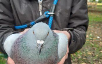 Nourrissage des pigeons